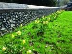 sayer_daffodils